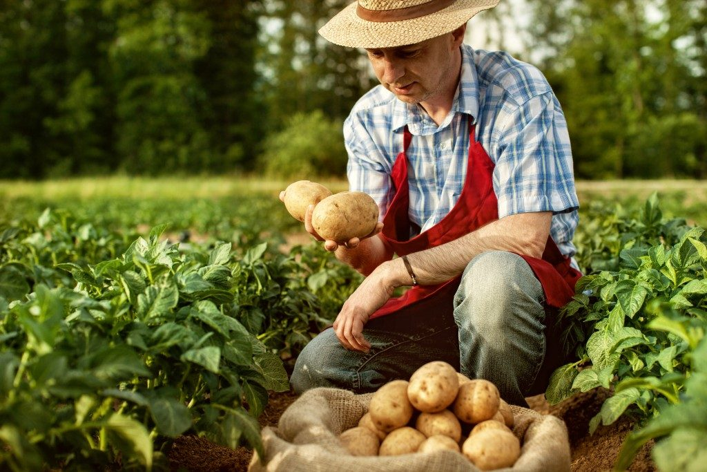 Farmer harvesting potatoes